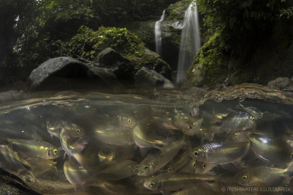 Schooling Creek Tetra (Bryconamericus scleroparius) Rio Carbon, Costa Rica   www.FreshwatersIllustrated.org