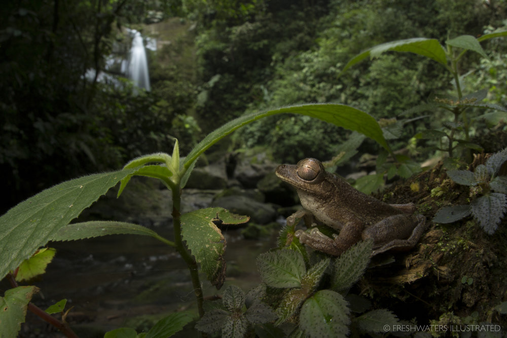Drab Treefrog (Smilisca sordida) Rio Carbon, Costa Rica