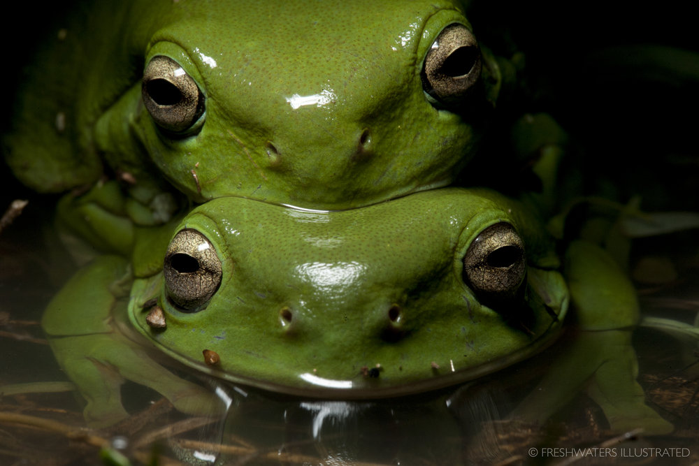 Green tree frogs (Litoria caerulea) in amplexus Macquarie Marshes, Australia