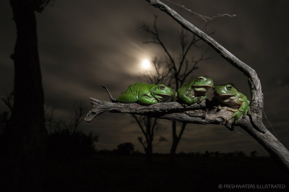 Green tree frogs (Litoria caerulea) Macquarie Marshes, Australia