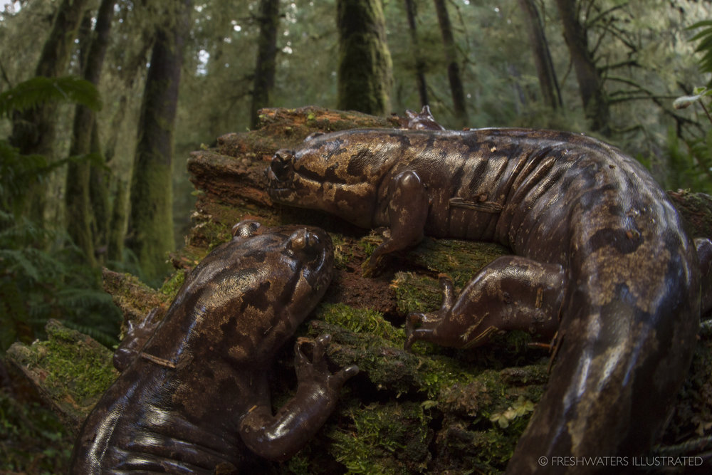 Terrestrial pacific giant salamanders (Dicamptodon tenebrosus) in an old growth forest. Cummins Creek, Oregon  www.FreshwatersIllustrated.org