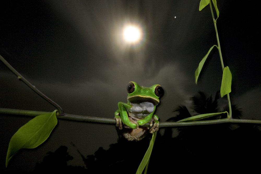 Monkey tree frog (Phylomedusa trinitatis) Northern Range, Trinidad