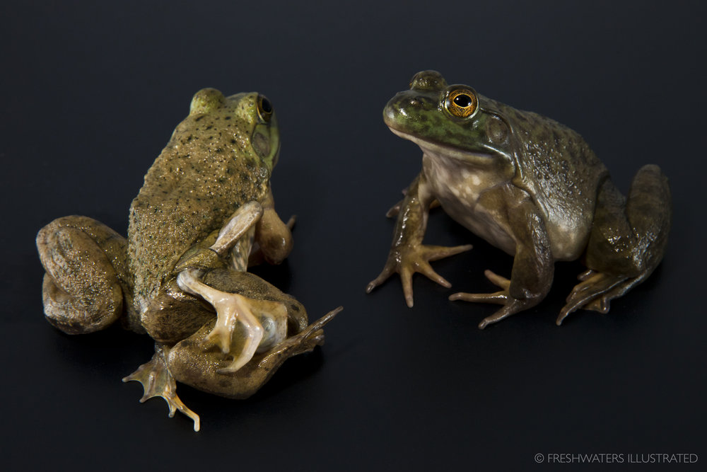 A bullfrog with limb deformities next to a healthy bullfrog.  www.FreshwatersIllustrated.org