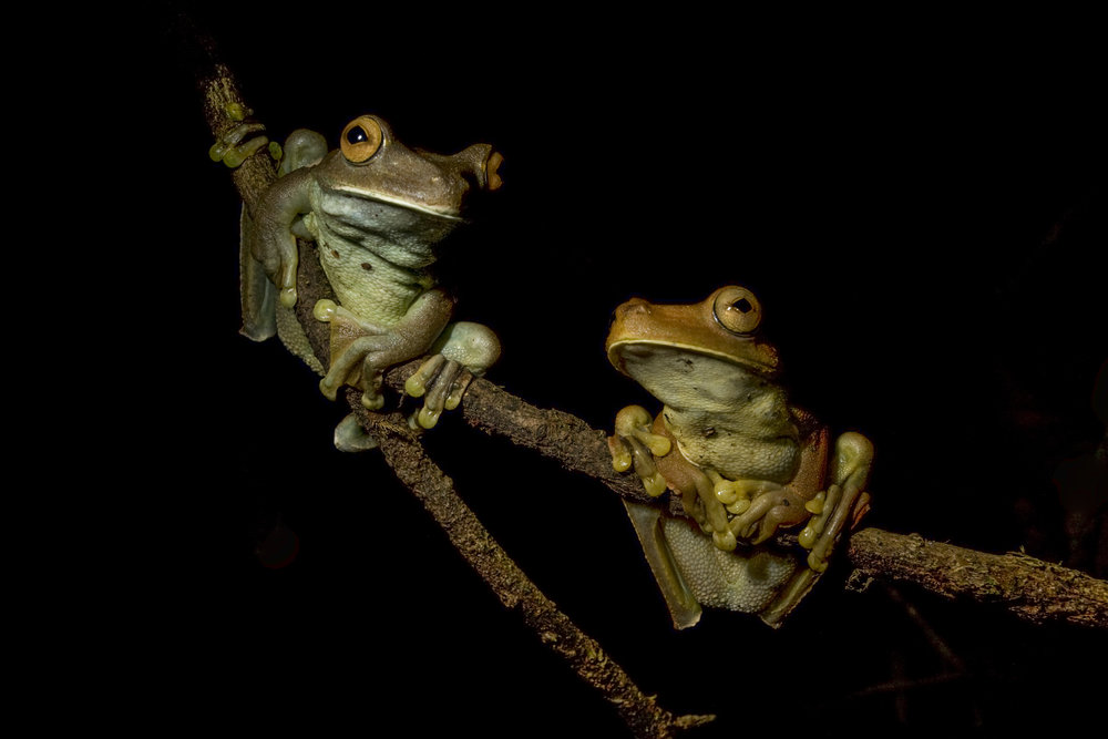 Gladiator tree frogs (Hypsiboas boans) Northern Range, Trinidad