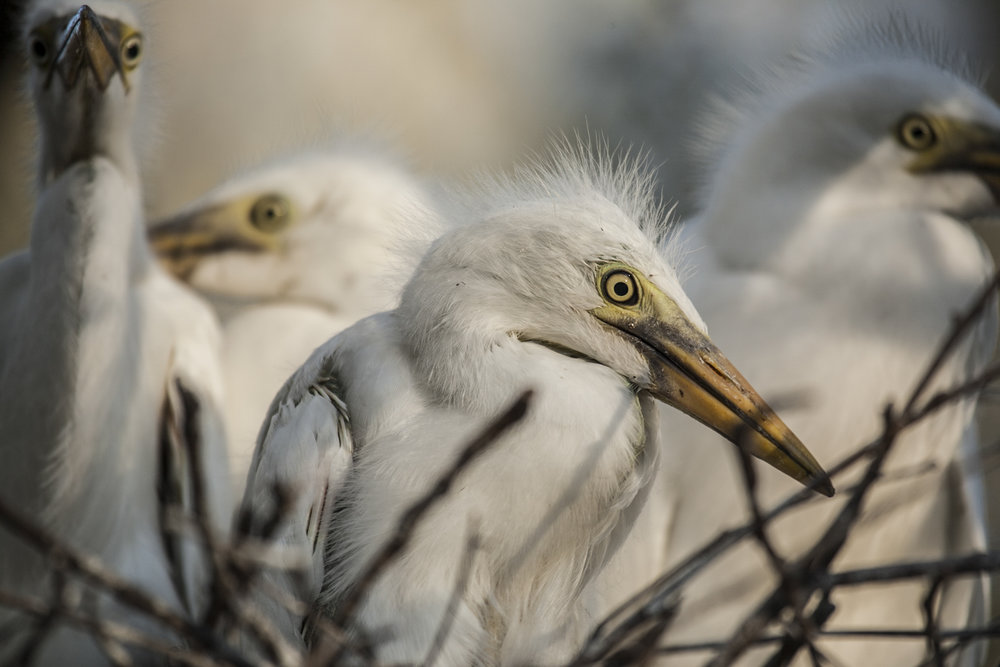 Great egret chicks (Ardea alba) Macquarie Marshes, Australia