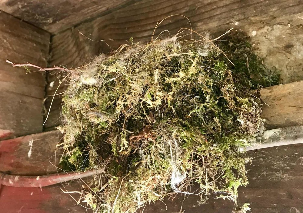 Eastern Phoebe nest Found.jpg