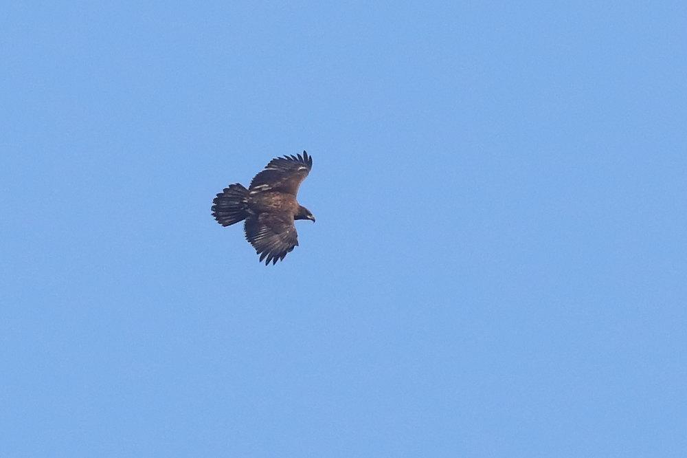 Canopus Eagle