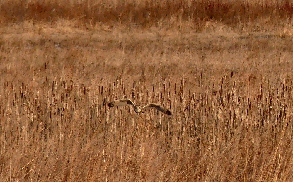 Short-Eared Owl flying low towards you 2.jpg