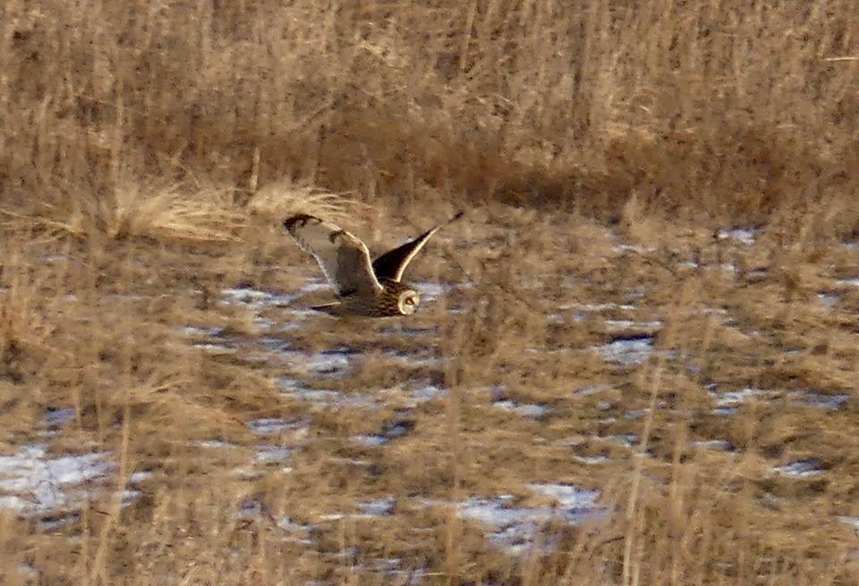 Short-Eared Owl  Flying Low.jpg