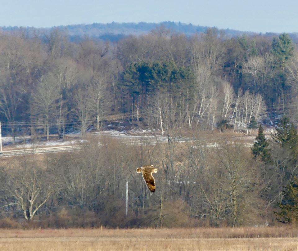 Short-Eared Owl soars.jpg
