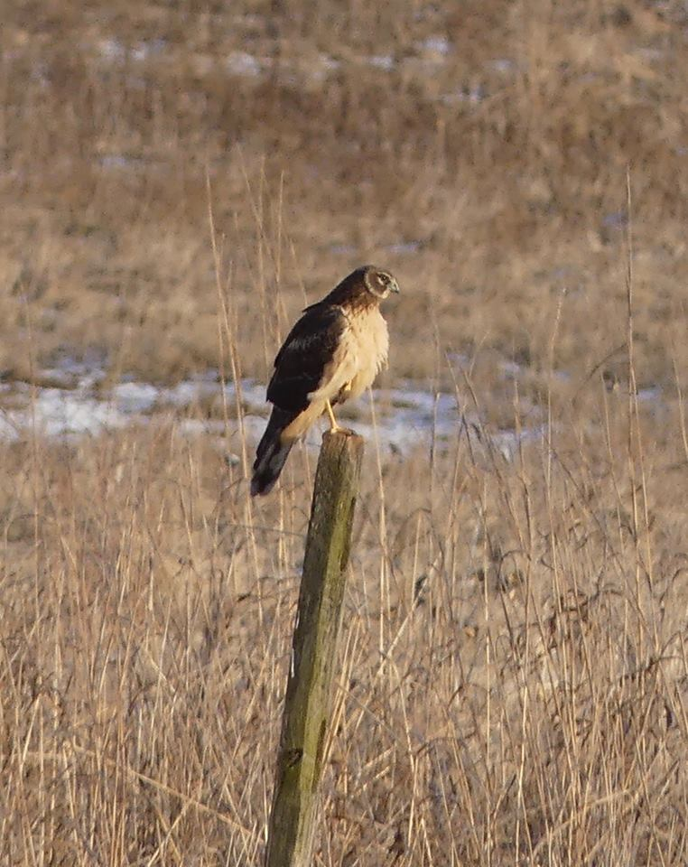 Northern Harrier on a fence post.jpg