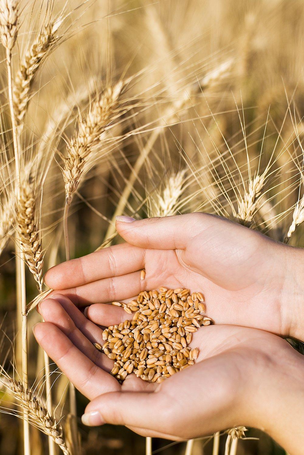 wheat in hand.jpg