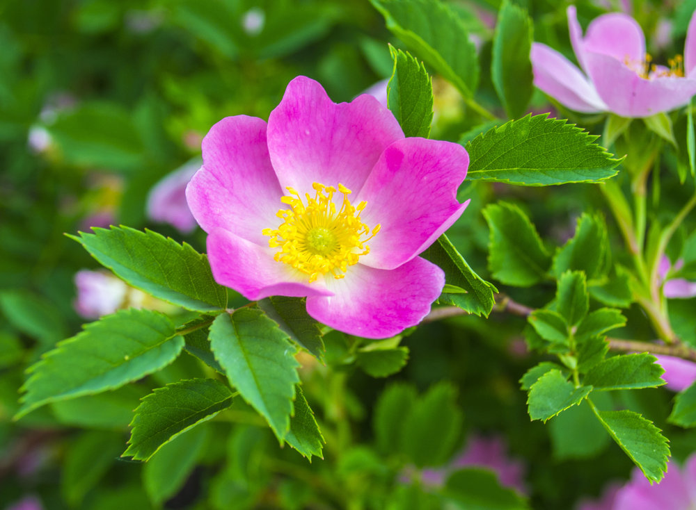 dog rose  Rosa canina  commonly found in the countryside