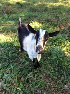 Goats 4.jpg