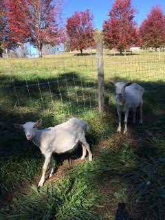 Goats 5.jpg