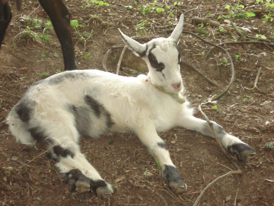 Goats 8.jpg