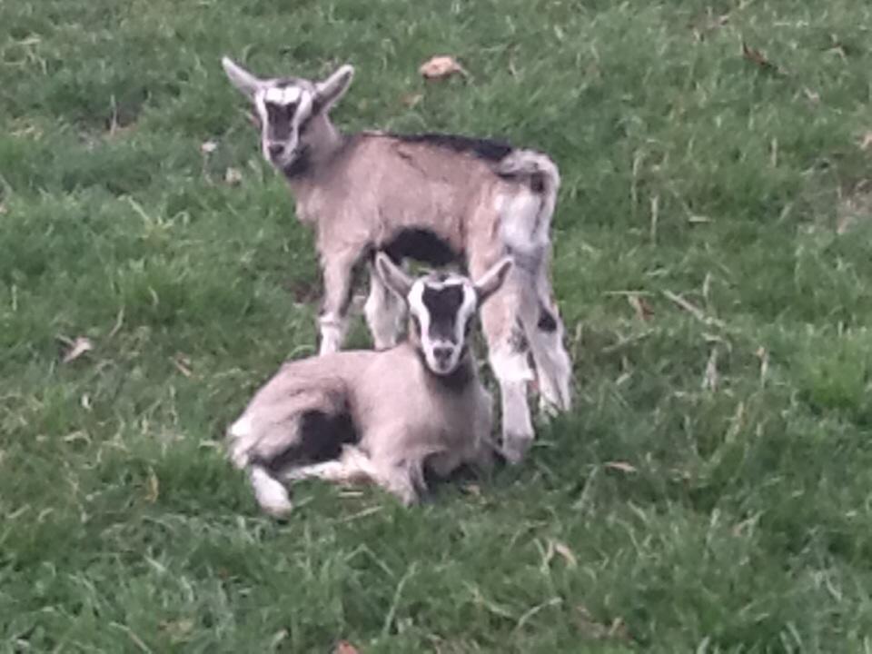 Goats 9.jpg