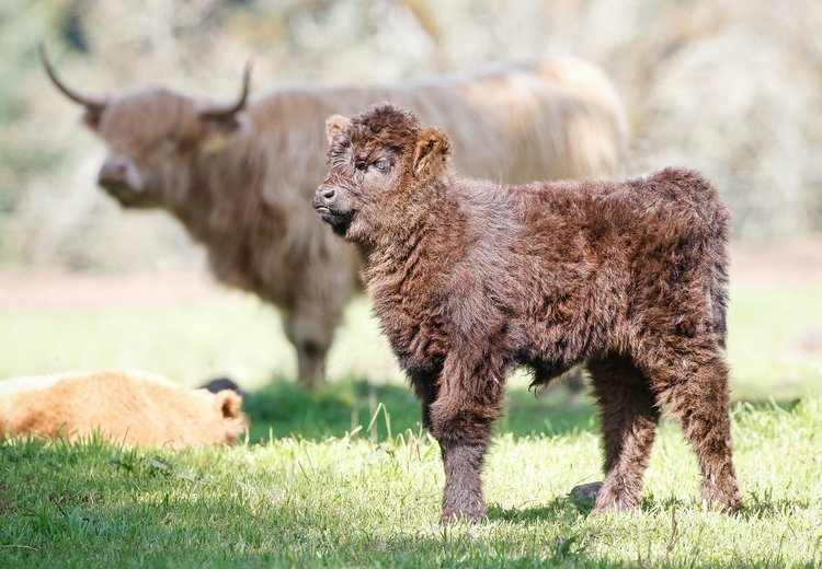 Nutritional Benefits - Did you know that grass fed beef from Scottish Highland cattle is more nutritionally beneficial then other types of beef and even chicken?