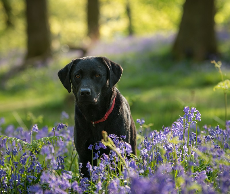 I wanted to keep the attention on my gorgeous Black Labrador here, so used an aperture of f/4 to keep the depth of field nice and shallow and render the bluebells as a beautiful blur.