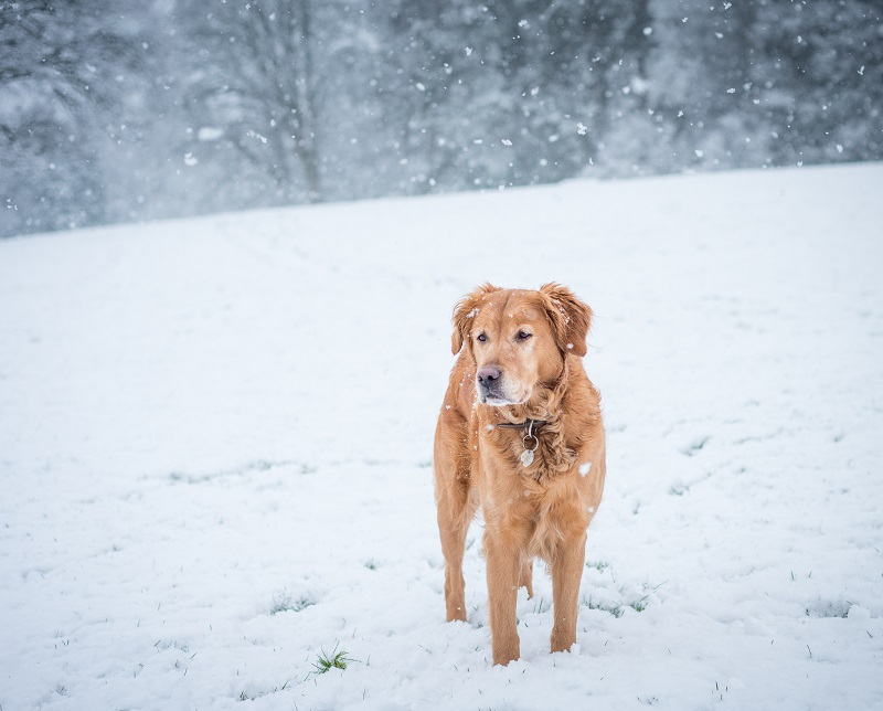 This photogenic dog needed little more than a white background and some falling snow to bring attention to his beauty.