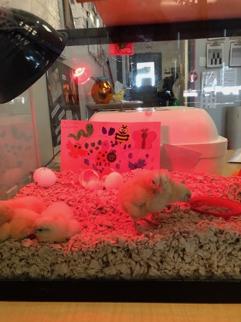 All Discovery Sites hatched baby chicks! Children benefit from real experiences!