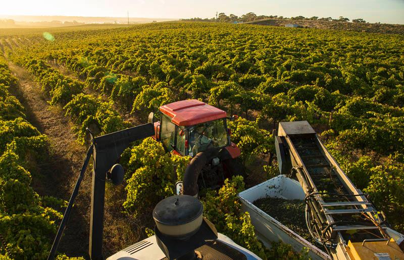 ...the harvest underway...