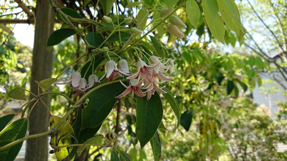 ムべ(郁子)の花も早や満開 (秋に紫の実をつけ万葉の頃から不老長寿と伝えられています)