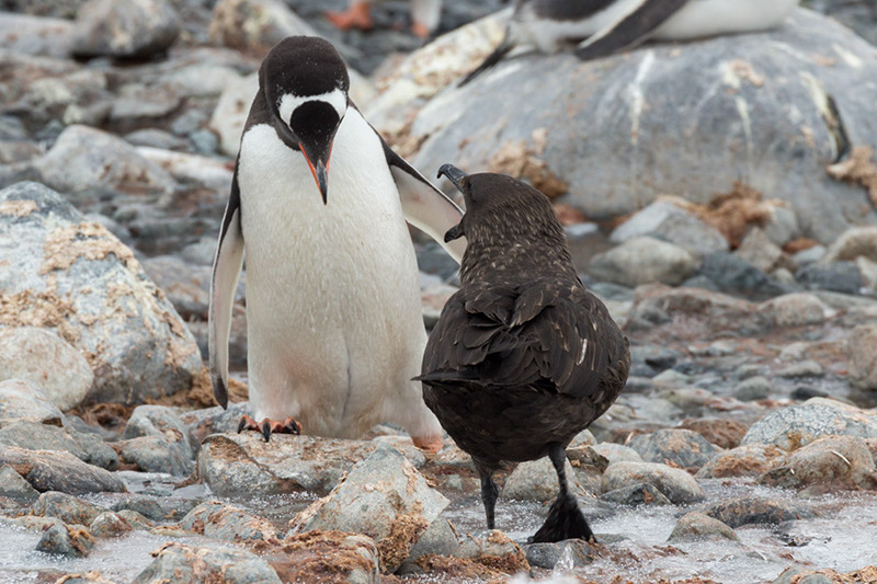 South polar skua and Gentoo Penguin Face Off - Pt 2. Cuverville Island. Antarctica