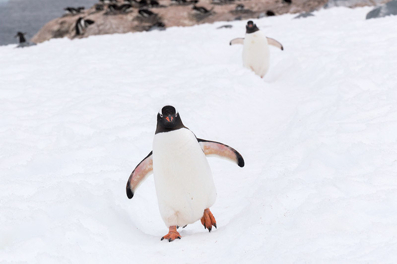 Waddling down the Penguin Highway. Cuverville Island Rookery, Antarctica