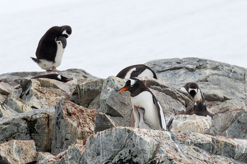 Gentoo Penguin with Chicks. Cuverville Island Rookery, Antarctica