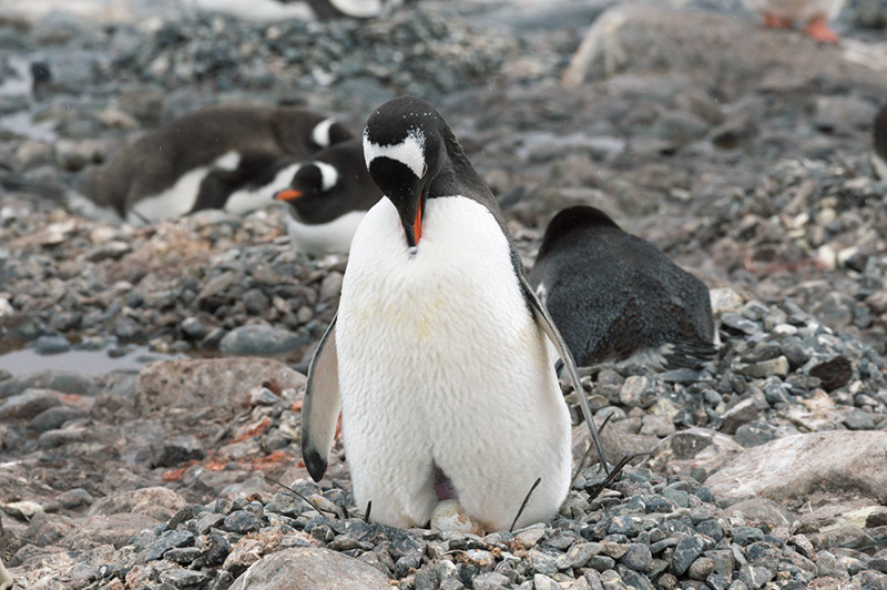 Gentoo Penguin with Egg. Cuverville Island Rookery, Antarctica