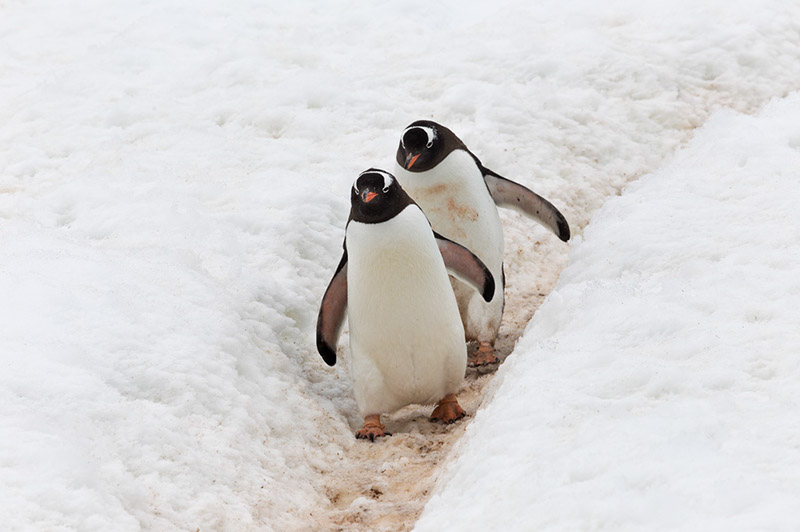 Gentoos' on the Penguin Highway. Cuverville Island Rookery, Antarctica