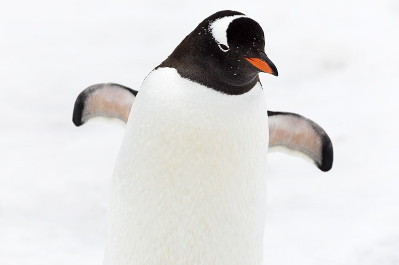 Gentoo in Close-up. Cuverville Island, Antarctica