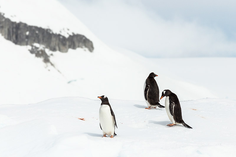 Gentoo Penguins on Passing Iceberg. Dallmann Fjords, Antarctica