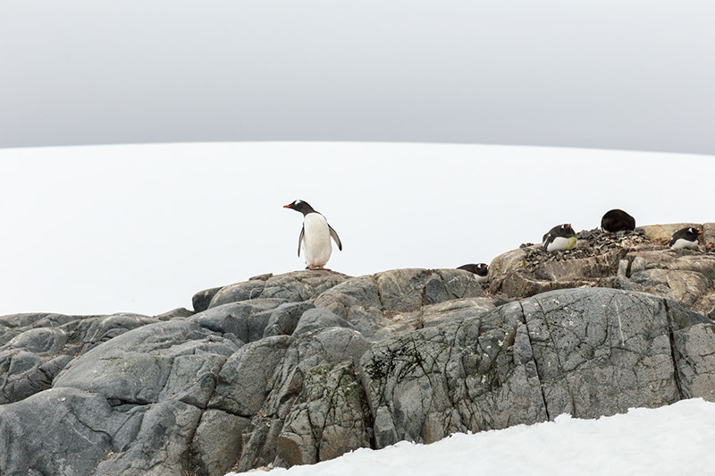 Nesting Gentoo Penguins. British Research Station. Port Lockroy, Antarctica