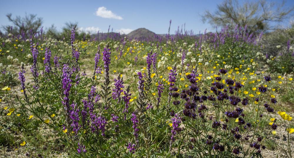 california_native_plants_roberto_flores_buck_03.jpg