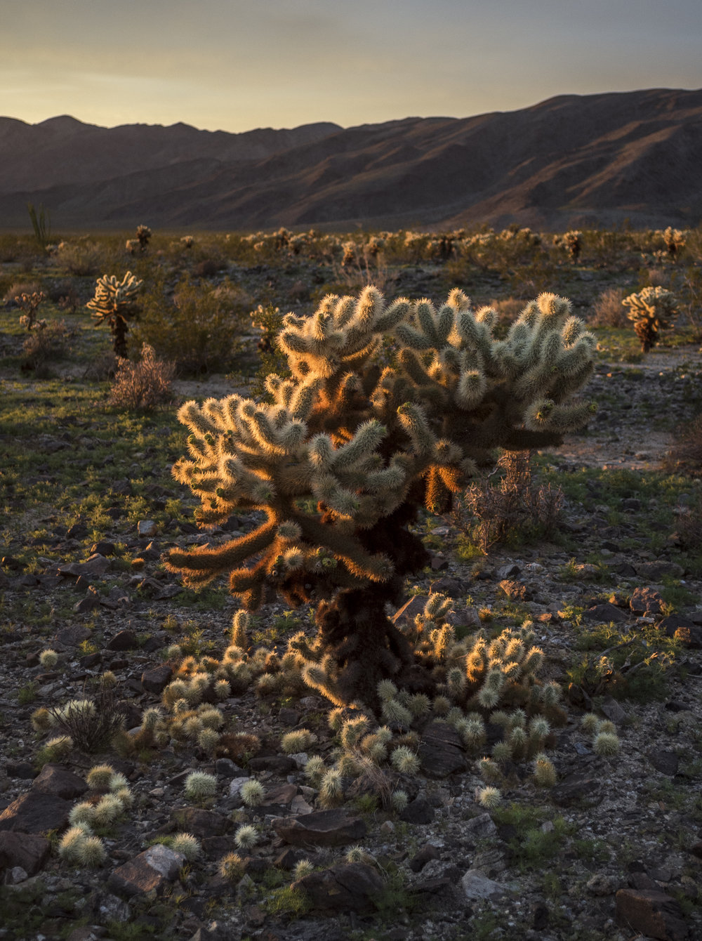 california_native_plants_roberto_flores_buck_09.jpg