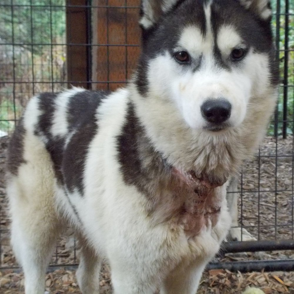 JERSEY:  5 yr old Male Husky.  Had one of the worst embedded collars that we have ever seen.  It was 4 inches deep and had started to embed into the Trachea.  This poor guy had been living on a chain for 5 yrs in someones yard.  He had never been off the chain.  For the first week we had him he would walk in circles because he was not used to walking in a straight line.  If he had not been saved when he was he may not be alive today as his wound was going septic any day.  He is a very brave and strong dog who is now living a life of love and companionship.  He was adopted 10-29-18