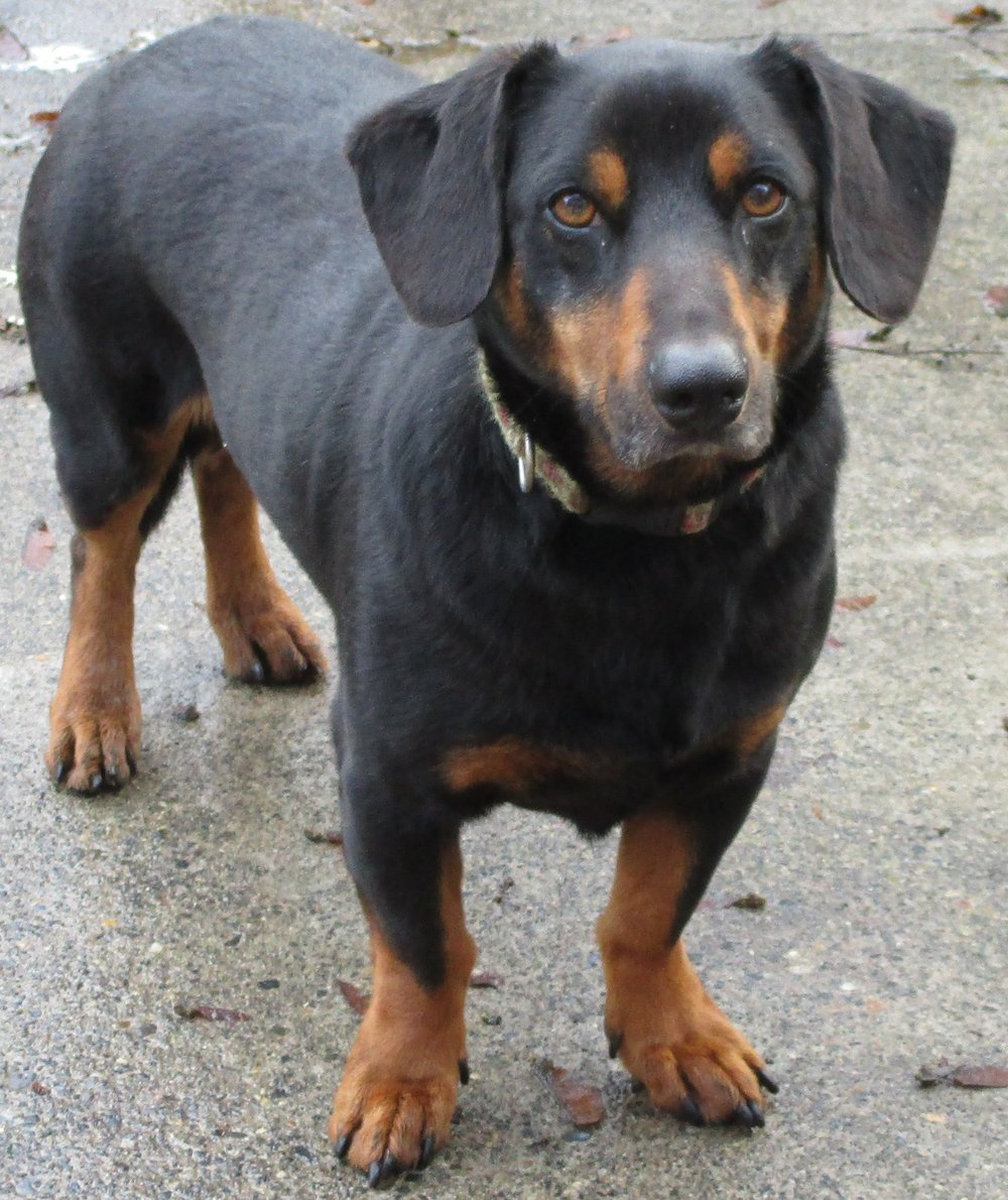 CHURCH: 5-6 yrs old: Standard Dachshund, 35 lbs, Male: Adoption fee $150 - Neutered already. Church is a great guy, super playful, excellent with other dogs, great in the car, loves to go walking, and very obedient. HE HATES MEN. So he needs female adopter. He is not going to change he needs someone who will just accept him for who he is. He would loving more to have a home that would be active and outgoing.
