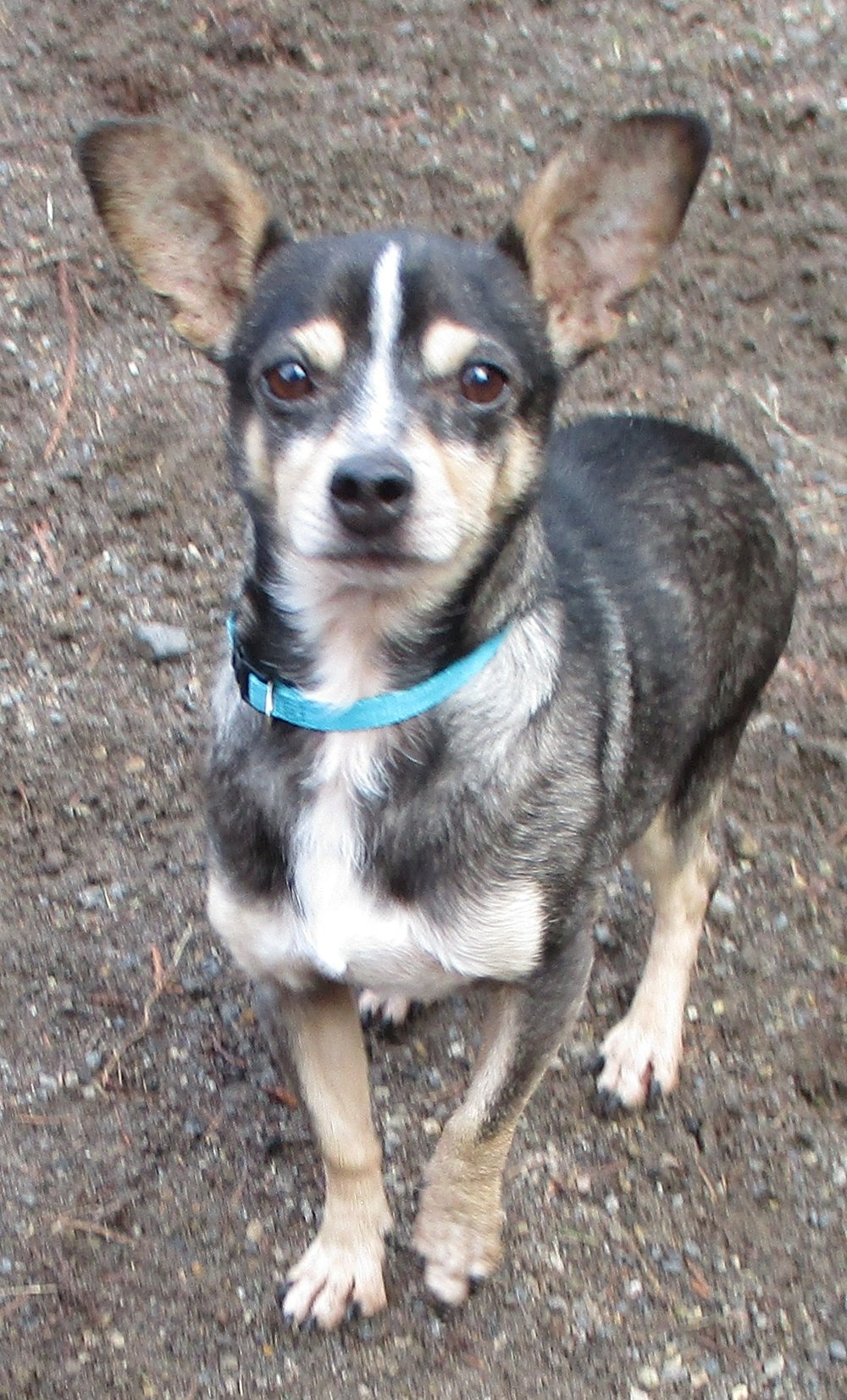 """AMOS: 4-5 yrs old. Chihuahua Mix. 8 lbs approx. Amos is super sweet and cuddly. He was in a California shelter and came here to Oregon to find a home, unfortunately the home had an abusive 5 yr old child in it. Amos loves to be held and loved on but you have to be careful with him. If he thinks your going to hurt him he will give a little cry. He loves children but he does not like being packed around like a toy doll.  He loves sleeping under the covers. He often carries his little binky around with him and will find a spot to lay down and cover himself up with it, it's darling. He also likes going to short walks or """"strolls"""" but is definitely not a marathon walker. LOVES going in the car and will sit in there perfectly behaved for hours. He thinks cars are crates with wheels. He hates the rain and will hold his potty for huge amounts of time to avoid it..lol. His adoption is $150.00 he has been neutered, has a current Rabies, DHLPP, Bordetella and flea top spot for the month."""