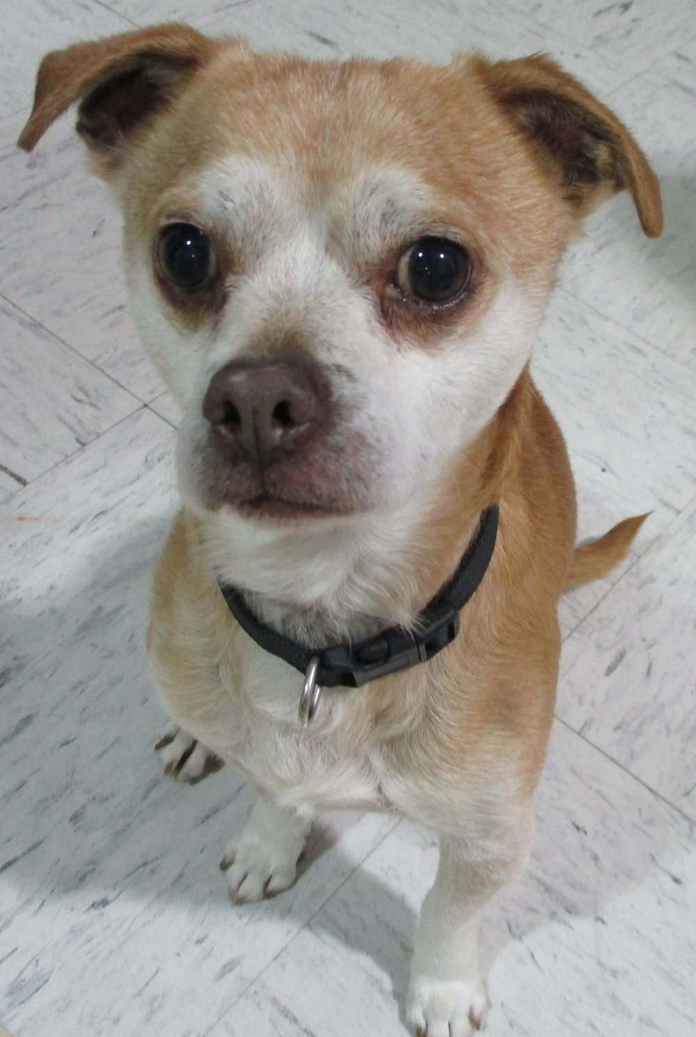 """FINLEY: aka """"Schnozy"""": Approx 6 yrs old, Puggle, Male, 12 lbs - this guy is the greatest. He has the most adorable piglet noises. He is super well behaved, great with other animals, easy going, great little walker, lap snuggler and car companion. His foster loves taking him just about anywhere, he is small and easy to care for, he would be great for any family type as he just has no issues and loves everything and every one. His adoption fee is $250 he is current on shots, vet checks, wormer and monthly flea treatment, neutered."""