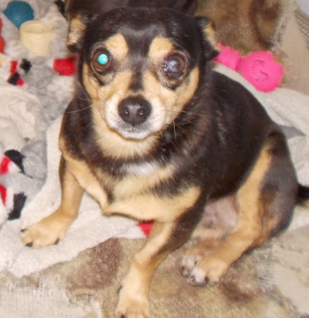 Mcflurry: 2 yr old, Chihuahua Mix, Male, Neutered, 7-8 lbs: He is very very chill. He is the perfect lap dog or long distance car rider. He is just really super calm and low key. He is great with all people and other pets including kitties. He may be shy the first day or two going to a new home because he is so mellow. He walks really nice on a leash, crates well, has good potty habits. Adoption $200