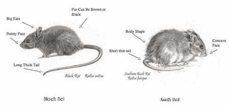 Wynndean rats.jpg