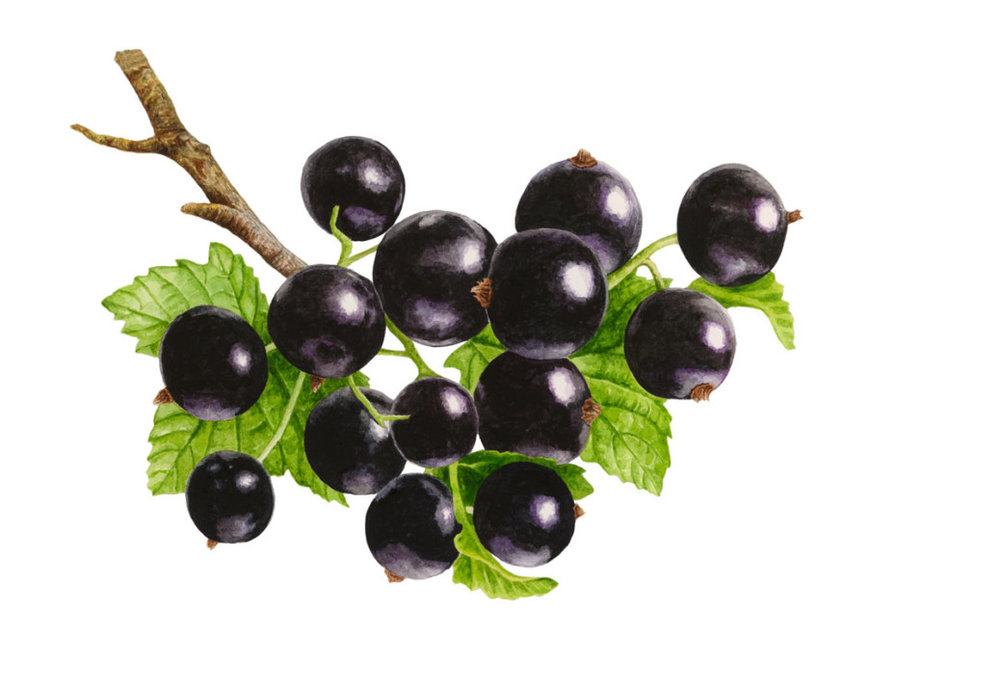 elderberry image.jpg