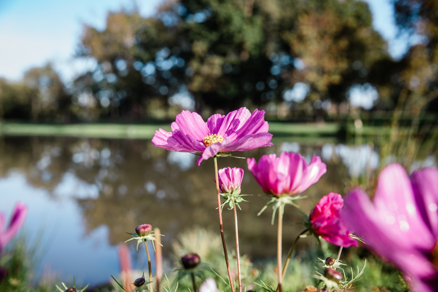 Pink flowers by lakeside.jpg
