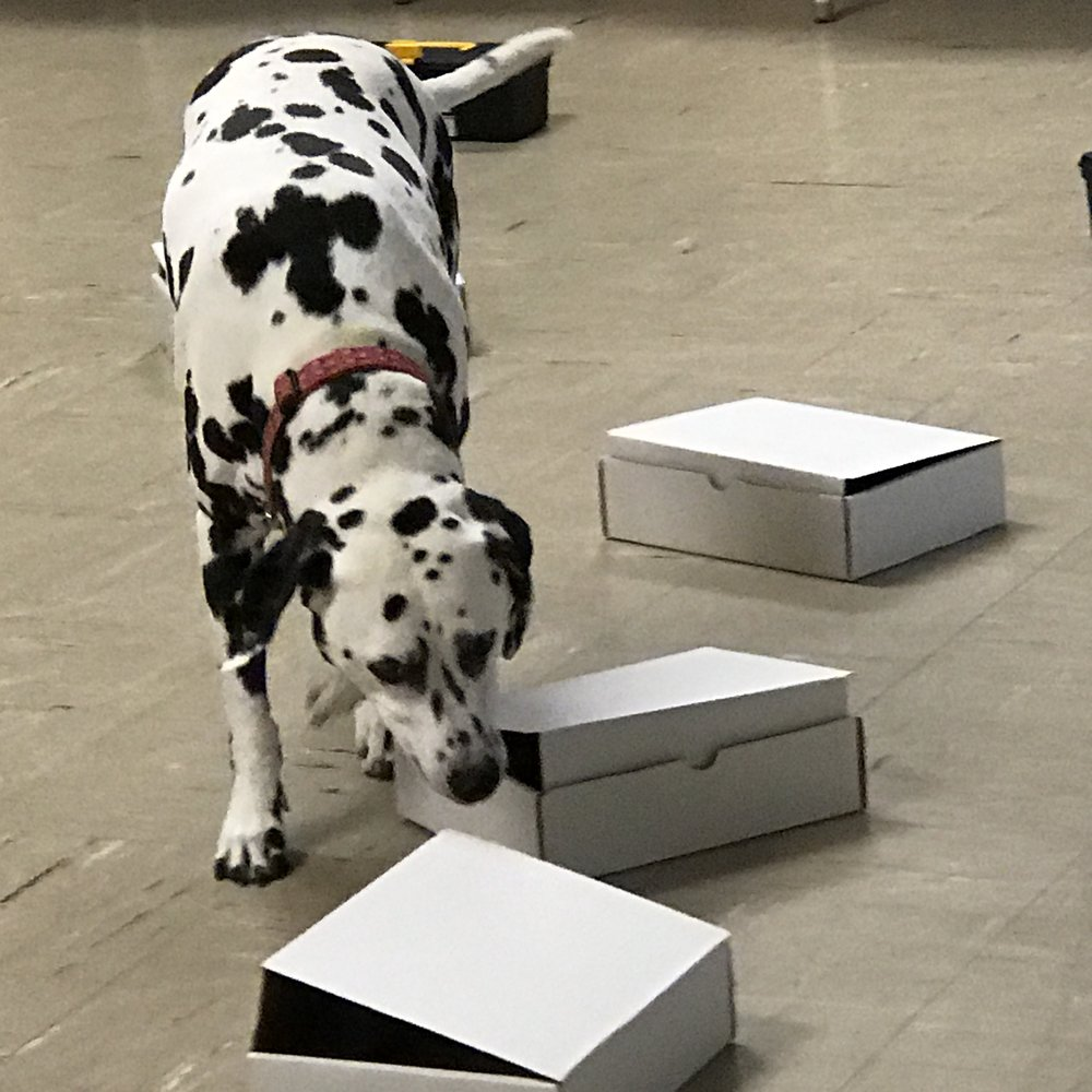 Darla, an Elite nose work dog, started with box work - much like your dog!