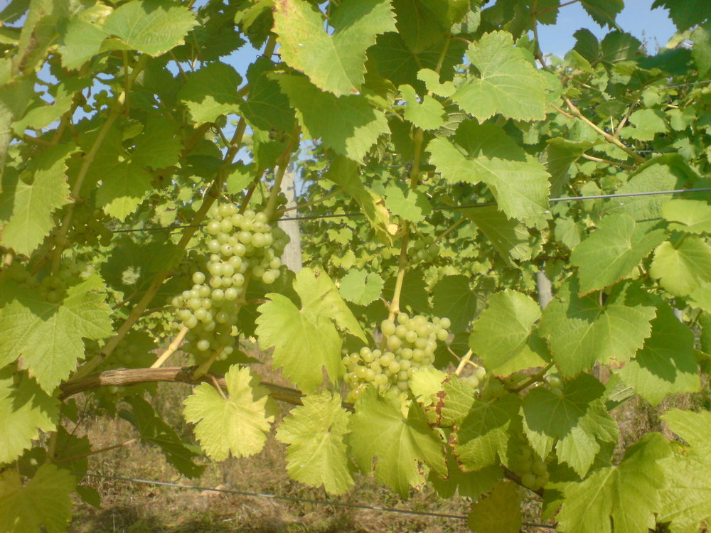 Bacchus Bunches on Vines.JPG