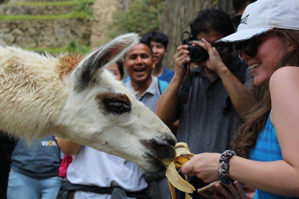 Feeding Llama - Peru