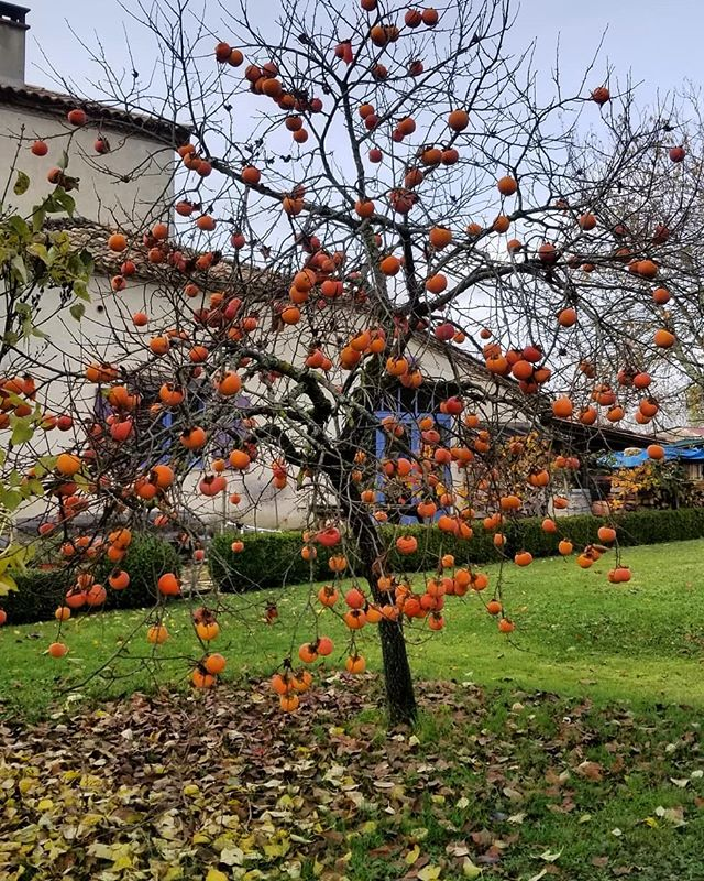 What a beautiful blessed experience to be in the presence of the magical autumnal kaki trees 🙏🏼🍁🍂never in my life had I eaten such sugary juicy perfectly ripe fruit straight from the tree to nourish and give me such an experience of joy! ❤💗❤ Blessed be the kaki tree and all those who have planted its seeds 🍅🤗🧚🏼‍♀️ #joy #happiness #kaki #persimmon #autumnfruits #juicy #sweetness