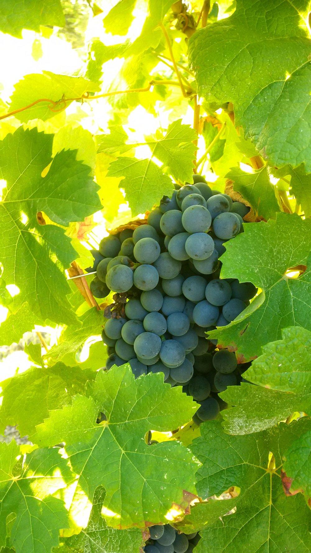 VINIFICATION EN ROUGE - Nous produisons quatre types de vin rouge sur le Domaine :Le Clos Rayssac, La Combe d'Avès, le Grand Tertre et le SangChaque vin correspond à des cépages bien précis, mais aussi à des terroirs différents.La vendange se fait toujours à la main, et nous sommes très exigeants sur la qualité du raisin. Un tri manuel est effectué à la parcelle, tous les grains et/ou grappes qui ne conviennent pas sont systématiquement éliminés. Pour réaliser des vins naturels cette étape est indispensable.Pour obtenir des vins rouges il faut absolument que le jus du raisin macère avec la pellicule, les pépins et la pulpe. Ce sont ces éléments qui permettront d'obtenir la couleur, les tanins et les parfums. Nous cherchons aussi à obtenir des vins qui satisfassent notre palais et nous avons, il faut bien l'avouer, des goûts particuliers.Nous péférons les arômes des fruits très sucrés et concentrés.Cela veut dire que nous allons chercher à ramasser des raisins qui seront très mur. Tout aura donc été mis en place tout au long de l'année pour faciliter cette surmaturité des raisins et avoir un vin qui ne soit pas déséquilibré car trop riche en alcool.